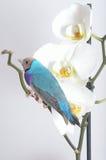 Blå och purpurfärgad fågel på den vita orkidén Arkivfoto