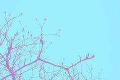Blå och rosa duettsignal av det torra trädet och himmel, abstrakt bakgrund Royaltyfri Foto
