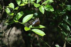 Blå och svart fjäril på det gröna bladet på den tropiska skogen arkivbild