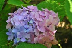 Blå och violett vanlig hortensia Royaltyfri Foto