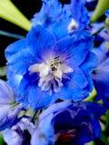 Blå och vit blomma med små kronblad Fotografering för Bildbyråer