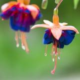 Blå orange blomma Arkivfoto