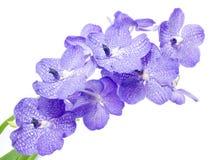 blå orchid arkivbilder
