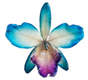 blå orchid Arkivfoton