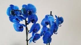 blå orchid arkivbild