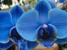 Blå orkidé (lat Orchidà ¡ ceae) - kungliga blått för Phalaenopsis Royaltyfria Foton
