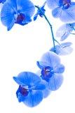 Blå orkidé som isoleras på vit bakgrund arkivfoton