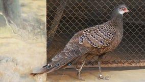 blå påfågel Royaltyfri Foto