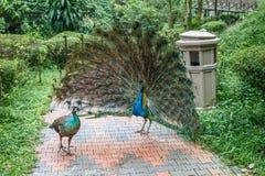 Blå påfågel för indier med en öppen svans som är främst av kvinnlign royaltyfri foto