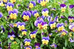 blå pansy Royaltyfria Bilder