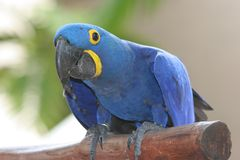 blå papegoja Royaltyfri Foto
