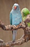 blå papegoja Arkivfoton