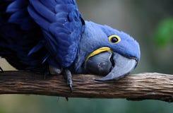 blå papegoja Arkivfoto