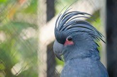 blå papegoja fotografering för bildbyråer
