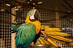 blå papegoja Royaltyfria Foton
