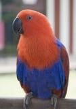 blå papegojared Arkivfoton