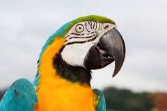 blå papegojayellow Royaltyfria Foton