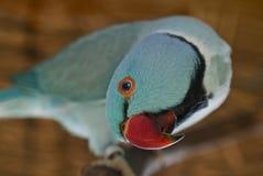 Blå parakiter Royaltyfria Bilder