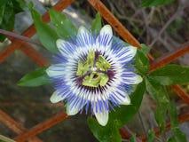 Blå Passion-blomma royaltyfri foto