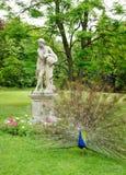 blå peafowl Arkivfoton
