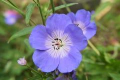Blå pelargon Royaltyfri Foto