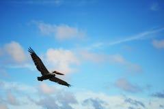 blå pelikansky Arkivbild