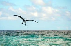 blå pelikansky Royaltyfri Fotografi