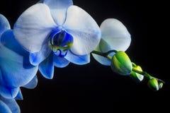 Blå phalaenopsisorkidé på svart bakgrund royaltyfri fotografi