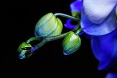 Blå phalaenopsisorkidé på svart bakgrund arkivbilder