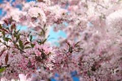 blå pink Royaltyfria Bilder