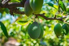 Blå plommonträdfrukt - organisk sund mat från naturen Arkivbild