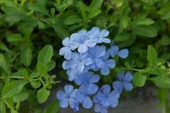 Blå Plumbaginaceaeblomma i trädgården Royaltyfria Foton