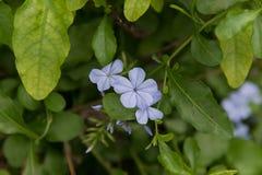 Blå Plumbaginaceaeblomma i trädgården Fotografering för Bildbyråer
