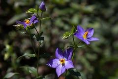 Blå potatisbuske - purpurfärgade blommor av den SolanumrantonneiLycianthes rantonnetiien fotografering för bildbyråer
