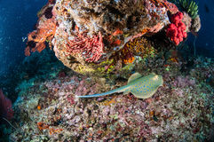 Blå prickig simning för ribbontailstrålTaeniura lymma i Gili, Lombok, Nusa Tenggara Barat, Indonesien undervattens- foto Arkivfoton