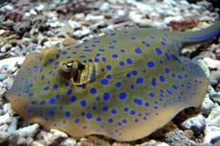blå prickig stingray Royaltyfri Fotografi