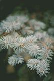 Blå prydlig filial för evergreen på den mjuka fokusbakgrunden för natur arkivfoto