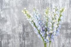 Blå riddarsporreblomma med gröna sidor på ljus - grå bakgrund Fotografering för Bildbyråer