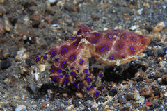 Arkivbilder ringed blå bläckfisk