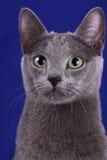 blå ryss Royaltyfri Foto