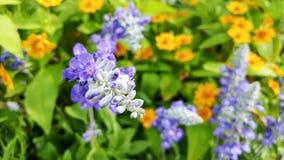 Blå salvia Fotografering för Bildbyråer