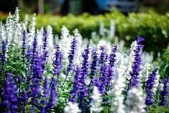 Blå Salvia blomma Arkivbilder