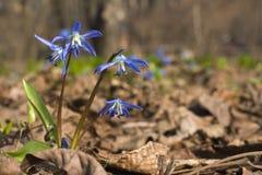 blå scillasnowdrop Arkivbild
