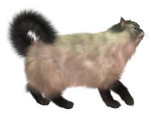 Blå Siamese katt Royaltyfria Foton