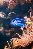 Blå simning för hepatus för skarp smakfiskparacanthurus i vatten populärt Royaltyfri Fotografi