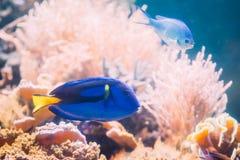 Blå simning för hepatus för skarp smakfiskparacanthurus i vatten populärt Fotografering för Bildbyråer