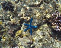 Blå sjöstjärna i gråa koraller Royaltyfri Fotografi