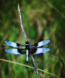 Blå skönhet Arkivbilder