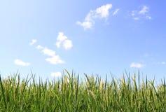 blå sky för fältgreenrice Arkivfoto