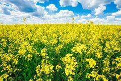 Blå sky för grönt fält Försommar som blommar rapsfröt oilseed Arkivbild